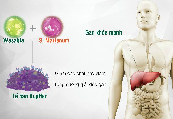 Tinh chất Wasabia và S. Marianum (có trong Hewel) kiểm soát tế bào Kupffer